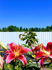 (Scorpiol13) Tags: perennial bluesky trees fence stamen fragility delicate summer nature freshness speckledpetals blossom blooming growing garden outdoors pinkpetals redpetals lilies flowers
