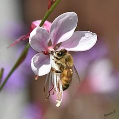 Have a Beeautiful New Week (Eleanor (No multiple invites please)) Tags: honeybee pinkflower gaura gaudipink garden stanmore uk nikond7200 105mmmacrolens august2018
