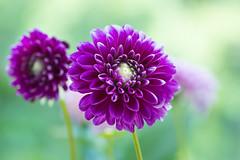 dahlia 1806 (junjiaoyama) Tags: japan flower dahlia plant summer red bokeh macro