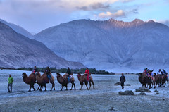 Camel Safari at Hunder in Nubra Valley (pallab seth) Tags: landscape colddesert sanddunes bactriancamel camelusbactrianus camelsafari hunder nubravalley joyrides diskit ladakh jammuandkashmir india asia unknownplace tour tourism dusk evening mountain himalayas