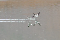 American Avocets (3231) (Bob Walker (NM)) Tags: bird flying water americanavocet recurvirostraamericana amav avocet oceanside california usa