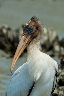 Wood stork with ugly face