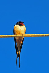 Barn swallow /Rauchschwalbe / Hirundo rustica (Manfred_H.) Tags: nature tiere animals vögel birds singvögel songbirds schwalben rauchschwalben swallow barn
