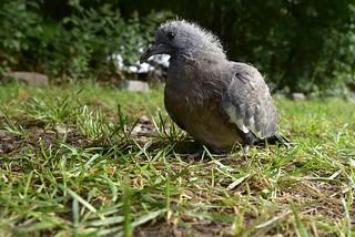 Was macht die junge Taube in meiner Einfahrt; Bergenhusen, Stapelholm (2)