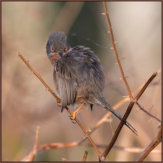 Dartford Warbler (image 1 of 3)