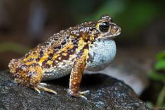 Amboli Toad - A close up (vipin baliga) Tags: ambolitoad xanthophrynetigerina xanthophryne taxonomy:binomial=xanthophrynetigerina endemic westernghats criticallyendangered monsoon male toad india