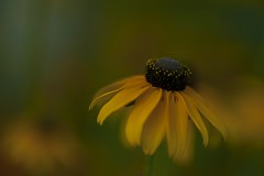 Summer dreams... (milance1965) Tags: sonnenhut gelb yelow sommer nikon d700 nikon105mm micro summer flower echinacea