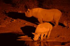 DSC_5116 (Andrew Nakamura) Tags: namibia africa chameleonsafaris etosha etoshanationalpark animal wildlife nighttime night mammal perissodactyla rhino rhinoceros blackrhino rhinocalf wateringhole waterhole halali