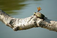 JLJRX_4823_edited-1 (2) (Joni James) Tags: painted turtle dragonfly eastern amberwing joni james morgan county indiana reptile