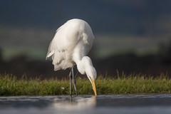 Great Egret - Zimanga - South-Africa (wietsej) Tags: great egret zimanga southafrica sony rx10iv rx10m4 bird rx10 iv
