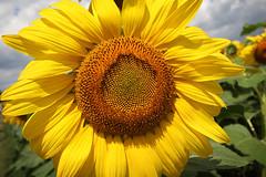 Bogle Seeds (mtnbiker404) Tags: bogle seeds sunflower field farm flower millgrove highway6