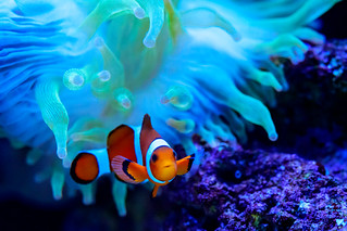 Clownfish (Amphiprion ocellaris) and Sea Anemone of Sumida Aquarium in Tokyo Sky Tree Town : カクレクマノミとイソギンチャク((東京スカイツリータウン・すみだ水族館)