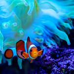 Clownfish (Amphiprion ocellaris) and Sea Anemone of Sumida Aquarium in Tokyo Sky Tree Town : カクレクマノミとイソギンチャク((東京スカイツリータウン・すみだ水族館) thumbnail