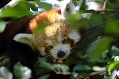 Pisolando... -  Sweet nap... (carlo612001) Tags: nap sweet panda red redpanda leaves tree nature albero foglie fresco estate2018 latorbiera