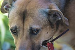 His Eye On The Prize (ACEZandEIGHTZ) Tags: family pet canine dog animal nikon d3200 coth alittlebeauty coth5