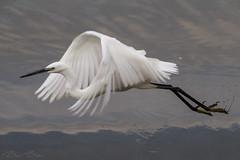 Little Egret (BenBoda) Tags: wildlife nature animal birds water little egret flight fly wings feather eyes