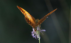 Profilo di luce (lincerosso) Tags: farfalle butterflies argynnispaphia cororearancio carsotriestino estate luce bellezza armonia eleganza
