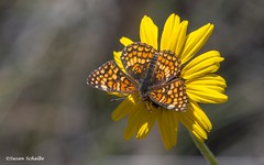 Checkerspot on a sunflower (Photosuze) Tags: flowers flora sunflowers checkerspots gabbscheckerspots insects pollination canyonsunflower native animals wildlife bugs butterflies
