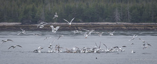 Herring and Bonaparte's Gull Feeding Frenzy - Herring Bait Ball