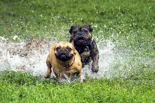 Pug/bulldog at Trinity-Bellwoods Park #6