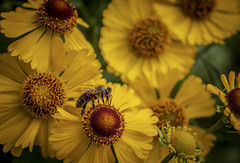 Bee ,, (Julie Greg) Tags: flower nature colours macro details park garden wasp