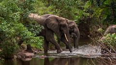 Elephants Crossing (loddeur) Tags: tanzania elephant lakemanyara africa safari nationalpark wildlife olifant jungle river crossing