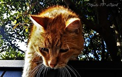 456. CATTYCOMBS: On a Sparrow Safari (Meili-PP Hua 2) Tags: photographypassionsxyz animals fauna mlpphfauna cat cats ginger gingercat feline pet tree fence whiskers ears catportrait portrait