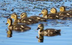 Ducklings (got2snap) Tags: ducklings duck birds water waterfowl sx60 summer outdoorssaskatchewannature outdoors nature canada country