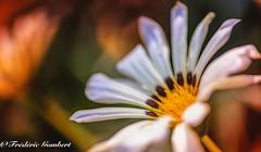 Portrait (frederic.gombert) Tags: flower daisy sun summer light color white bloom blossom sunlight macro blooming nikon