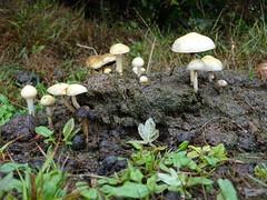 DSC01004 (guyfogwill) Tags: guyfogwill unitedkingdom devon okehampton dartmoor august gbr dartmoornationalpark mushroom ex20 westdevon meldon fungi