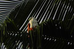 Brahminy Kite! (Abeer!) Tags: birds abeer abeerbarman kerala brahminykite kite seaeagle eagle green white india redbacked haliasturindus fortkochi kochi cochin leaves nature portrait royal tree