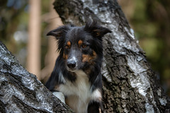 Alert (Flemming Andersen) Tags: yatzy dog bordercollie outdoor hund nature pet animal apeldoorn gelderland netherlands nl