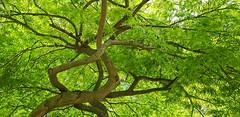 - twisted - (Jac Hardyy) Tags: twisted acer palmatum var dissectum japanese maple threadleaf tree trees sycamore branch branches twig twigs leaf leaves ahorn ast äste vezweigt verzweigung verdreht blatt blätter baum bäume fächerahorn schlitzblättriger