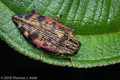 Metallic Wood-Boring Beetle (Tom's Macro and Nature Photographs) Tags: macrophotography insects coleoptera beetles buprestids buprestidae metallic metallicwoodboringbeetle madagascar