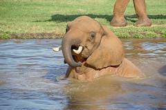 bath time (ucumari photography) Tags: ucumariphotography pachyderm elephant nc north carolina zoo august 2018 animal mammal dsc0429 specanimal