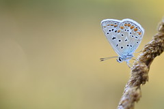 (Leela Channer) Tags: commonblue polyommatusicarus closeup nature insect butterfly garrigue summer garden grass