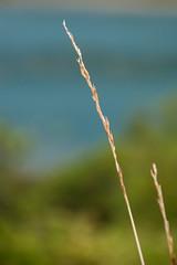 L'oro (GloriaPlebani) Tags: cielo sky spiga spike verde green natura nature nikond80 oro gold