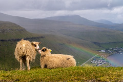 Sheep enjoy the view (Marion McM) Tags: sheep rainbow mountains faroes faroeislands fjord faroesesheep landscape canonpowershotg7xmarkii