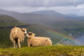 Sheep enjoy the view