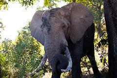 Elephant, Kruger National Park (mplatt86) Tags: elephant bull male tusk tusks trees grass animals wildlife kruger nature national natural park safari sand savannah ears holiday south africa