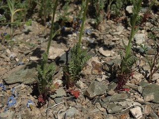 basal leaves of showy gilia, Gilia cana subsp. triceps
