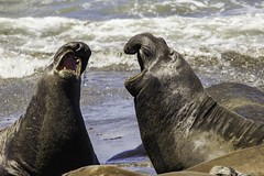 Male Elephant Seals (Blazing Star 78613) Tags: piedrasblancas piedrasblancascalifornia california seal marinemammal elephant elephantseal northernelephantseal hwy1 californiacoast californiahwy1 miroungaangustirostris