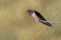 Rondine (Marcello Giardinazzo) Tags: rondine hirundorustica avifauna wild natura birds bird uccelli