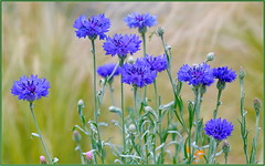 Is It Spring Yet? (tdlucas5000) Tags: flowers wildflowers cornflowers bluecornflower macro closeup bokeh creamybokeh d850 sigma105 summer california spring centaurea