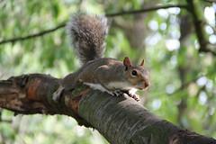 Squirrel in Regent's Park (ec1jack) Tags: kierankelly canoneos600d ec1jack regentspark london england britain uk europe camden august 2018 park summer squirrel animals tree
