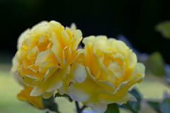 Roses (annemwo) Tags: roses yellow macro nature summer august garden tønsberg norway