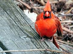 DSC_0523 (RachidH) Tags: birds oiseaux snow cardinal redbird northerncardinal cardinaliscardinalis cardinalrouge sparta nj rachidh nature