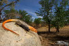 Agama planiceps - Male Namibia Rock Agama. From Kamanjab, Namibia. (Tyrone Ping) Tags: agama planiceps namibia rock wild wildlife nature natural africa african canon canon7d wide angle photography photo animals amazing cute lizards landscape