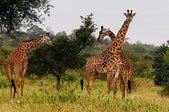 Rosanne's  photo of Giraffes eating Lunch (JFGryphon) Tags: tarangirenationalpark tanzania giraffes lunch