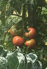 Tomatoes (corsi photo) Tags: red nature ripening fruit garden tomato plant vegetables